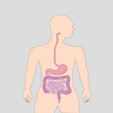 oesophagus: Gastrointestinal tract Illustration