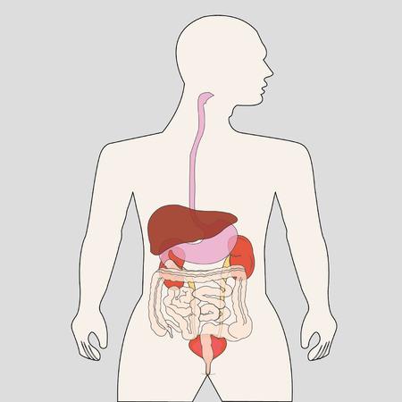 cecum: human body organs