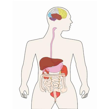 Human Body Organs Royalty Free Cliparts, Vectors, And Stock ...