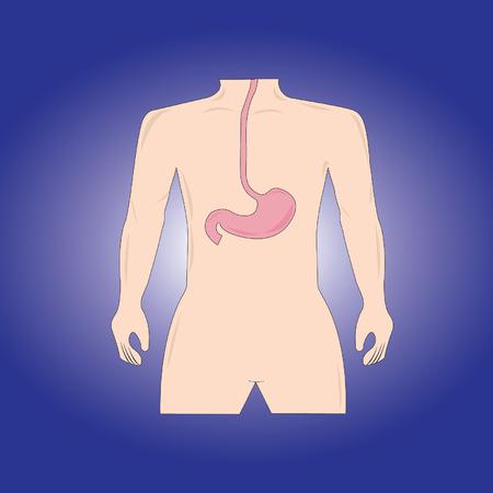 Human stomach Vector