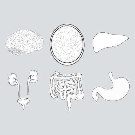 Sistemas De órganos Dentro Del Cuerpo Ilustraciones Vectoriales ...