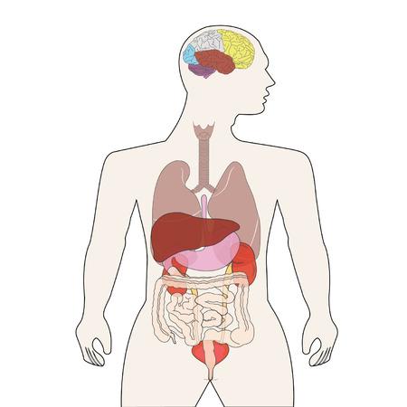 human body organs Vector