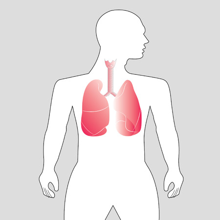 Human lungs on gray background Vector