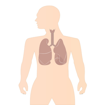 Human lungs on white background Vector