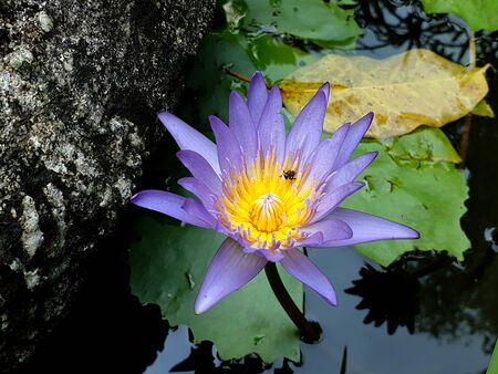 Purple Lotus flower with reflection of clouds in the blue sky