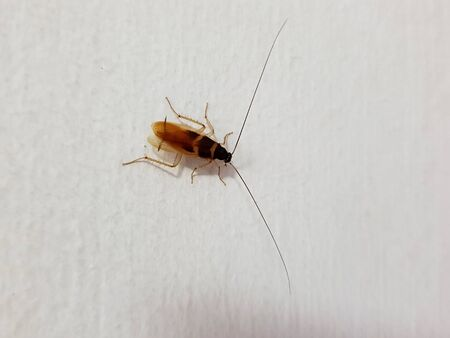 Adult male German cockroach on the white wall