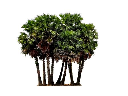 Group of sugar palm tree isolated on white background. Archivio Fotografico