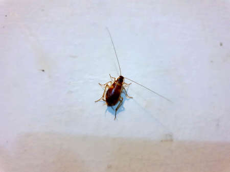 German cockroach on the kitchen wall