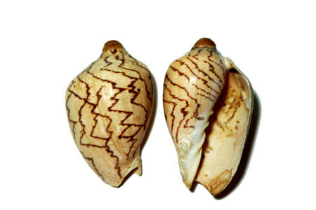 Two Cymbiola Nobilis shells on white background.