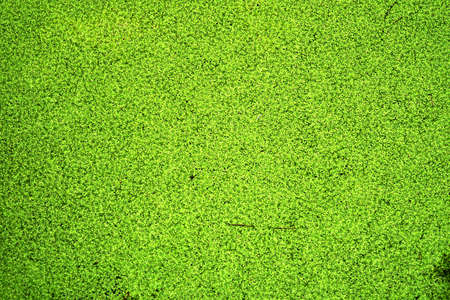 Duckweed on the water surface texture