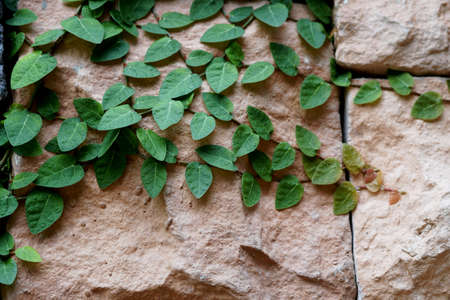 Tridax procumbens or Coatbuttons, Mexican daisy on the stones wall