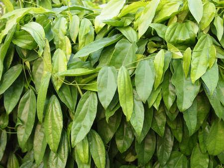 chlorophyll: Bai ya nang