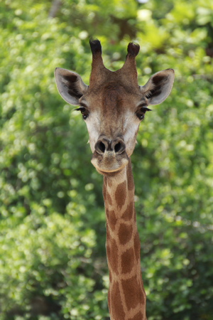 giraffa: Giraffe; Scientific Name   Giraffa camelopardalis, is an animal , a mammal in the family Giraffidae ruminant is an animal that has featured a high neck and long legs with his first pair with yellow and brown stripes