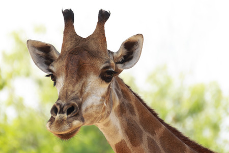 ruminant: Giraffe; Scientific Name   Giraffa camelopardalis, is an animal , a mammal in the family Giraffidae ruminant is an animal that has featured a high neck and long legs with his first pair with yellow and brown stripes