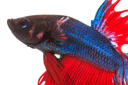 fighting fish , betta splenden, siamese fighting fish  isolated on white photo