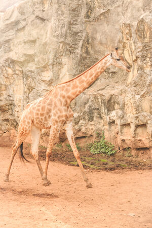 featured: Giraffe a mammal in the family Giraffidae ruminant is an animal that has featured a high neck and long legs