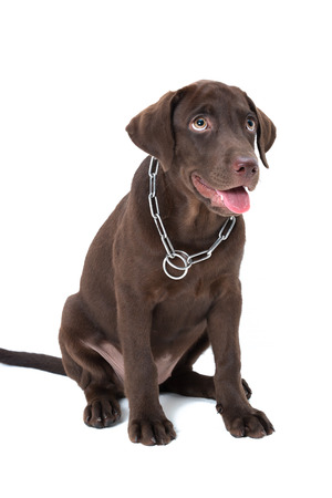 chocolate labrador: Chocolate labrador puppy on a brown background Stock Photo