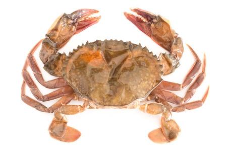 Première crabe à carapace molle isolé sur fond blanc Banque d'images - 39559207