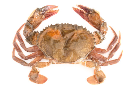cangrejo: prima cangrejo de concha blanda aisladas sobre fondo blanco Foto de archivo