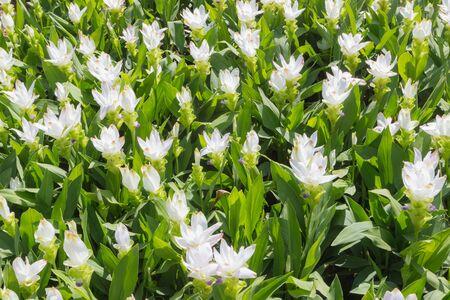 siam: siam tulip of thai land