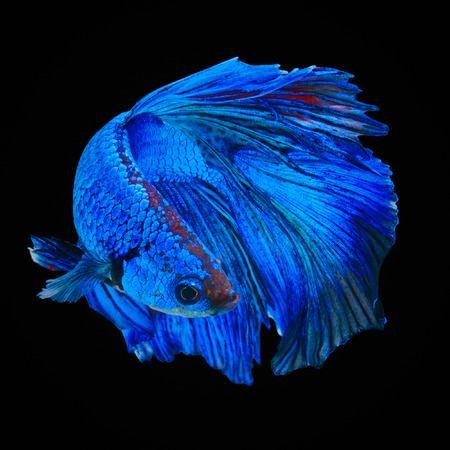 tropical fish: Betta fish, siamese fighting fish, betta splendens  isolated on black background
