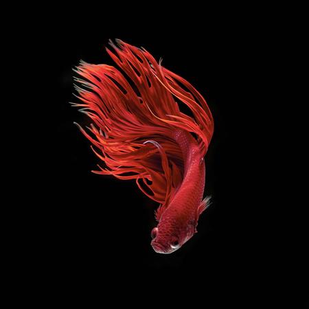 Betta vis, kempvissen, betta splendens geïsoleerd op een zwarte achtergrond