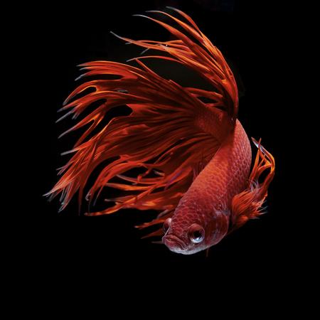 Betta の魚、シャムの戦いの魚、ベタ splendens 写真素材