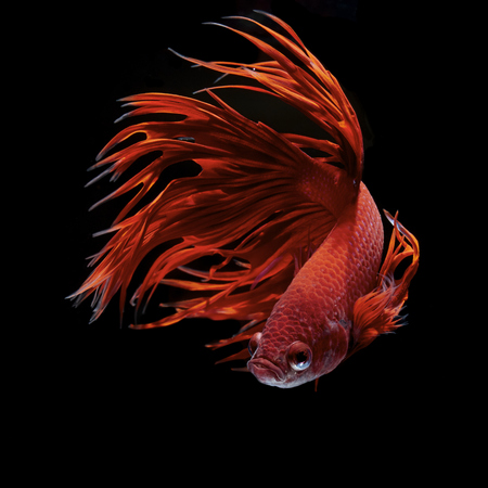 Betta fish, siamese fighting fish, betta splendens Stok Fotoğraf - 49603346