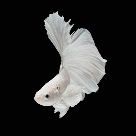 Betta fish, siamese fighting fish, betta splendens