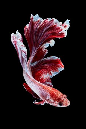 Betta poissons, combattant, Betta splendens isolé sur fond noir Banque d'images - 50233196
