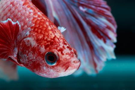 Poisson betta, poisson fighting siamois, betta splendens isolé sur fond noir Banque d'images - 50233205