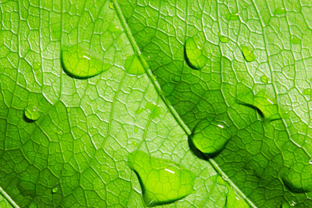 Green leaf with water drops,closeup, macro Stock Photo
