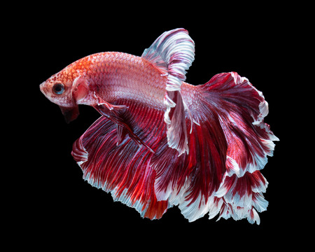 Betta poissons, combattant, Betta splendens isolé sur fond noir Banque d'images - 50233631