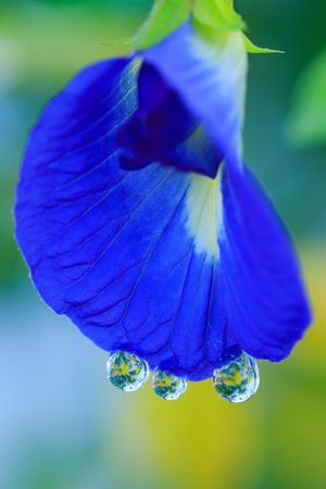 pea shrub: Butterfly pea, Blue pea with water drop Stock Photo