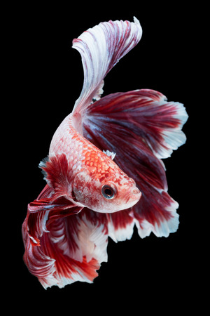 Betta fish, siamese fighting fish, betta splendens  isolated on black background