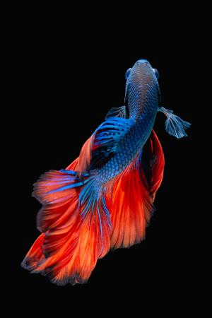 Betta poissons, combattant, Betta splendens isolé sur fond noir Banque d'images - 51288626