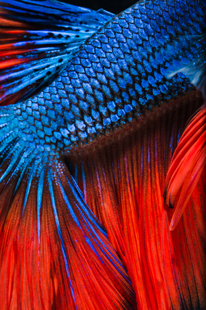 peleando: Betta fish, siamese fighting fish, betta splendens  isolated on black background