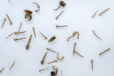 contagion: mosquito larva contagion Zika Virus and Dengue Stock Photo