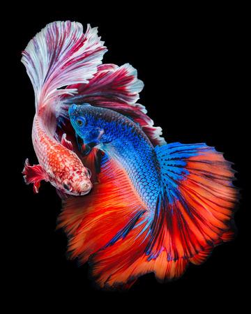 Betta poissons, combattant, Betta splendens isolé sur fond noir Banque d'images - 53592393