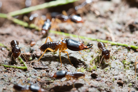 burrows: security soldier termites with worker termites on the forest floor in Saraburi thailand. Shallow DOF