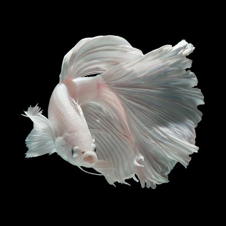Betta fish, siamese fighting fish half-breed between Half moon and Elephant ear fins isolated on black background beautiful movement macro photo
