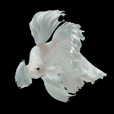 half moon tail: Betta fish, siamese fighting fish half-breed between Half moon and Elephant ear fins isolated on black background beautiful movement macro photo