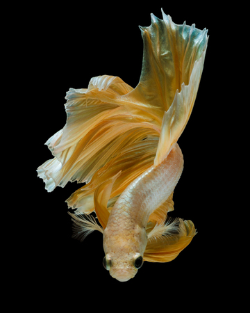 gold betta fish, fighting fish , siamese fighting fish isolated on black background Stock Photo
