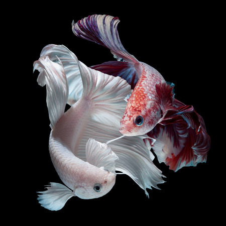dragon swim: fighting of colorful Betta fish isolated on black background