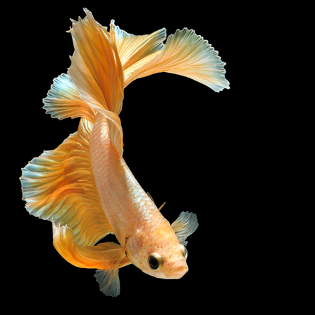 Betta fish, siamese fighting fish gold half moon isolated on black background beautiful movement macro photo