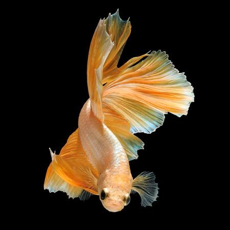 Betta fish, siamese fighting fish gold half moon isolated on black background beautiful movement macro photo