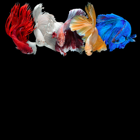 half moon tail: colorful Betta fish background with copy space isolated on black background Stock Photo