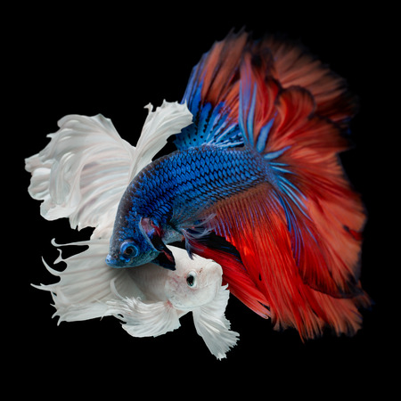 fighting of colorful Betta fish isolated on black background