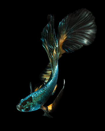 betta fish, fighting fish , siamese fighting fish. Half moon isolated on black background