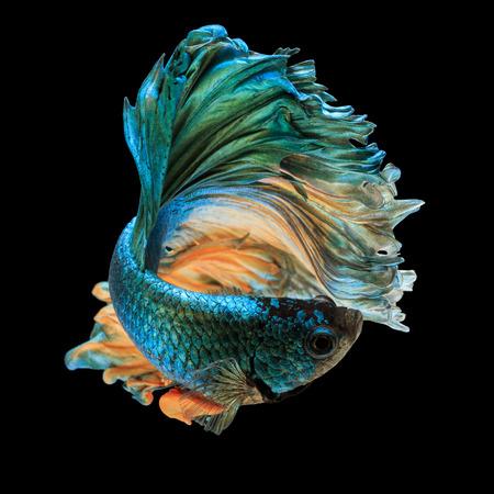 betta の魚、シャムの戦いの魚「半月」黒い背景に分離